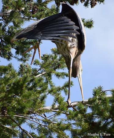 Great Blue Heron on One Leg