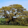 Mother Oak