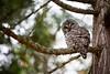 Owl LRG