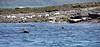 Seals off Wee Cumbrae - 13 June 2021