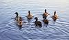 Scattering Ducks at Cornalees Area near Loch Thom - 15 October 2018