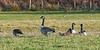 Canadian Geese at Lunderston Bay - 26 January 2017