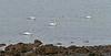 Swans Near Lunderston Bay - 6 February 2017
