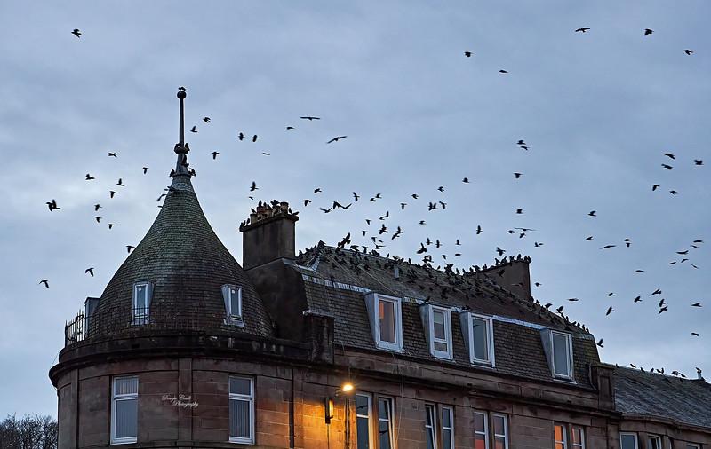Birds over Gourock - 17 December 2020
