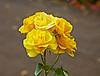 Museum Roses - Greenock - 11 September 2012
