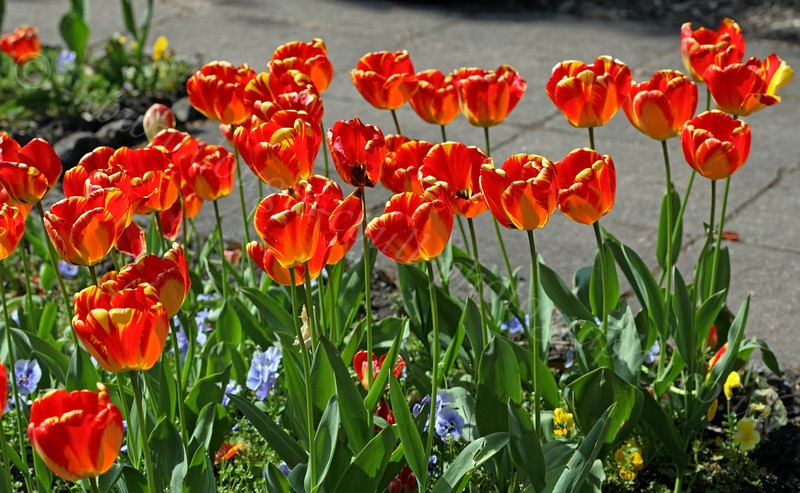 Tulips - Greenock Museum Garden - 2 May 2012