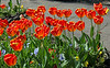 Tulips - Greenock Museum Garden - 2 May 2012