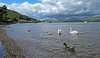 Swan and Cygnets - Luss - 24 June 2012