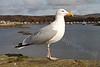Millport Seagull - 17 March 2012