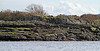 Grey Seals Sunbathing off Millport - 17 March 2012