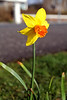 Millport Daffodil - 17 March 2012
