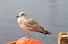 Seagull - Buckie Harbour - 10 August 2012