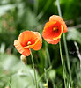 Poppies in Lossiemouth - 7 June 2021