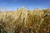 Wheat Crop near Findlater Castle - 6 July 2018