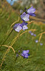 Blue Flowers - Portknockie - 10 August 2012