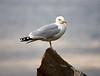 Engaging Seagull at Portknockie - 8 June 2021