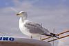 Nervous Seagull