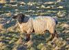 Lone Sheep in Langbank - 26 February 2021