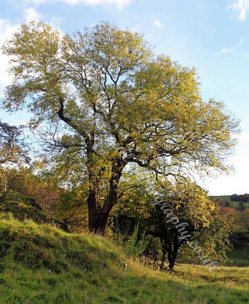 Trees - Langbank