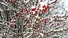 Many Winter Berries