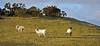 Sheep in Langbank - 30 January 2021