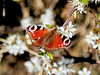 Butterfly in Langbank - 19 April 2020