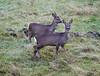 Deer at Langbank - 11 November 2018