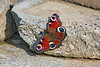 Peacock Butterfly in Langbank - 11 September 2021