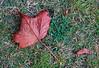 Autumn Leaf at Langbank - 15 October 2014