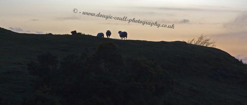 Langbank Field - Sheep