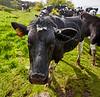 Inquisitive Cow at Langbank - 30 May 2015