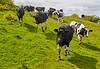 Running Cows at Langbank - 30 May 2015