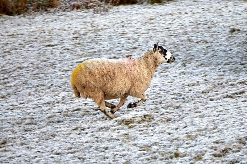 Sheep on the Run at Langbank - 1 December 2019