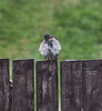 Sparrowhawk in Langbank - 10 September 2021