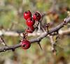 Autumn Berries