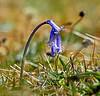 Bluebells in Langbank - 28 April 2020