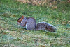 Sammy the Squirrel in Langbank - 16 February 2021