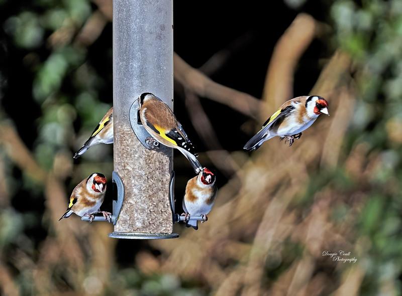 Garden Birds in Langbank - 10 February 2021