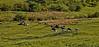 Cows - Langbank - 4 June 2013