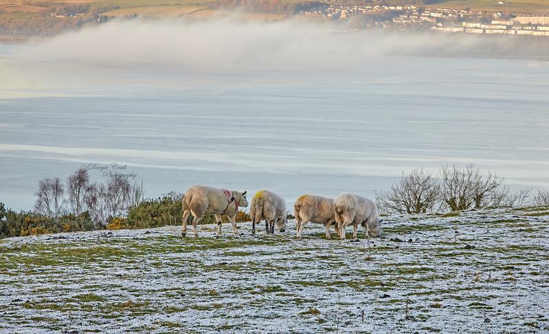 Sheep at Langbank - 1 December 2019