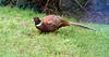 Pheasant (Male) - Garden Visitor - 3 February 2013