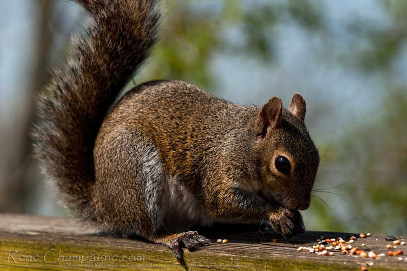 Red Squirrel - John Chestnut Park, Palm Harbor, Florida