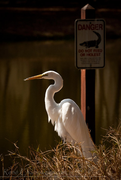Great Egret - John Chestnut Park, Palm Harbor, Florida