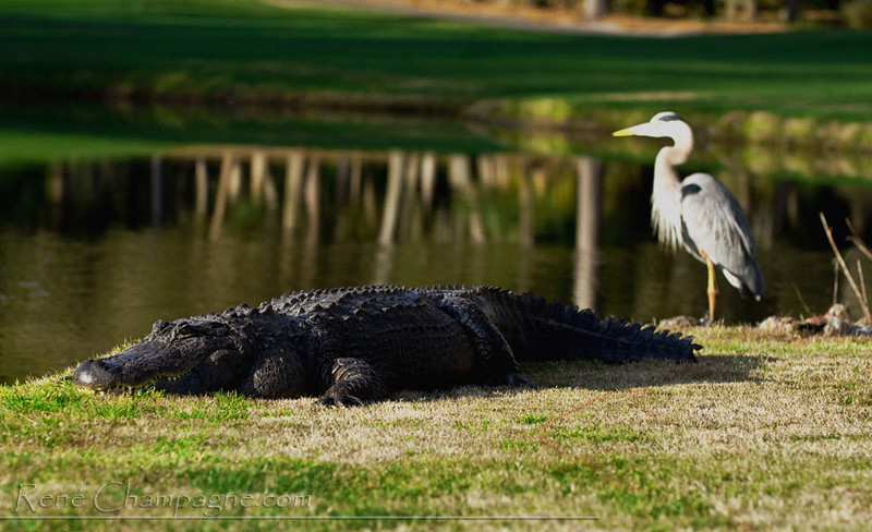 Alligator & Great Blue Heron - Innisbrook Resort and Golf Club, Palm Harbor, Florida