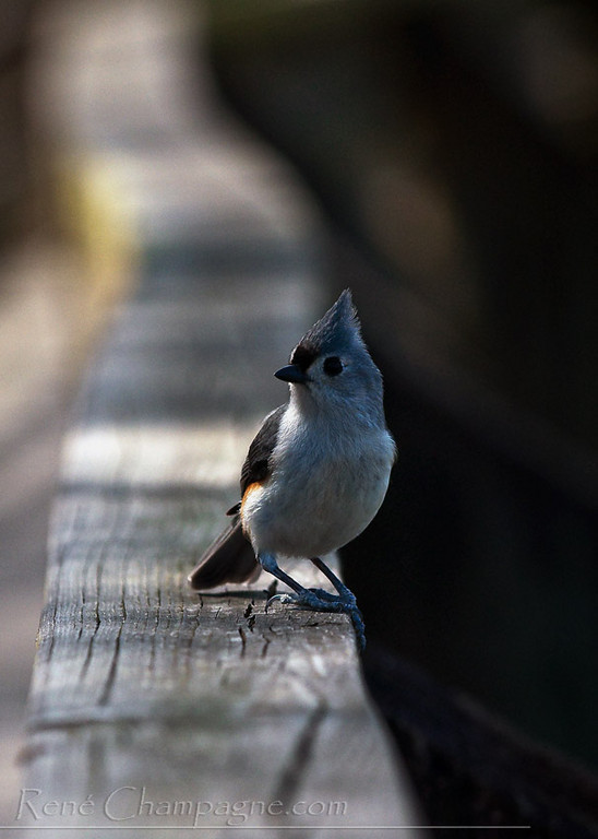 Tufted Titmouse - John Chestnut Park, Palm Harbor, Florida