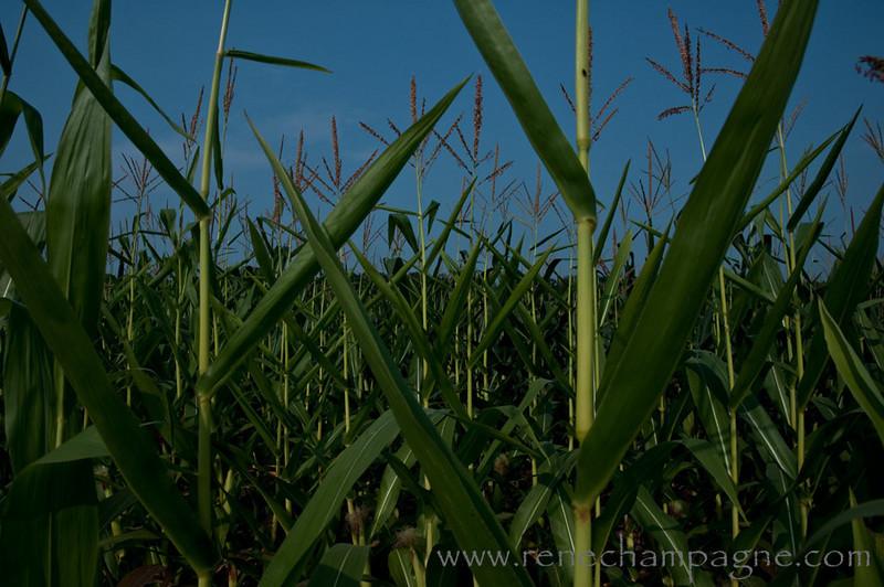 Gettysburg, Pennsylvania - A silent Corn Field