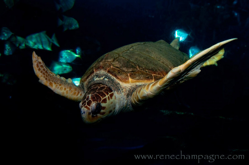 Sea Turtle - Virginia State Aquarium, Virginia Beach, Virginia.....  I don't think I said Virginia enough.
