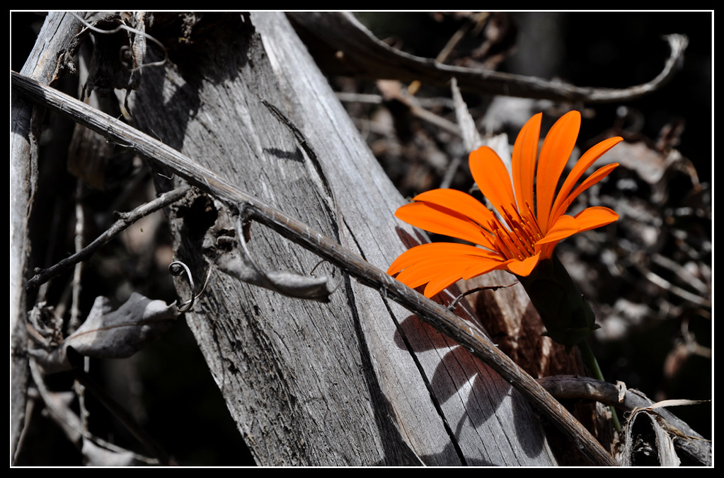 A lonely blossom, Bariloche, Argentina<br /> This picture has not been photoshoped or colour enhanced.  The area was ravaged by a fire and the only thing growing was this beautiful flower.