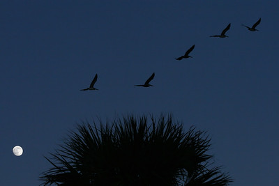 Pelicans in  flight, Daytona Beach, Fl