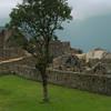 A tree grows in Machu Picchu